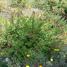 Galvezia (Gambelia) speciosa  island bush snapdragon