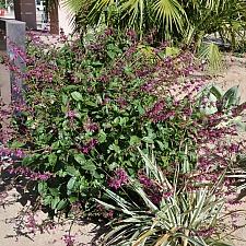 Salvia  chiapensis