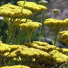Achillea  filipendulina 'Coronation Gold' fernleaf yarrow
