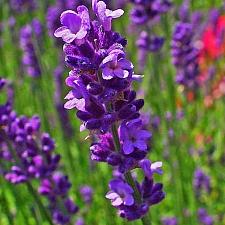 Lavandula angustifolia  English lavender
