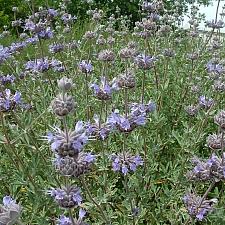 Salvia clevelandii 'Whirly Blue' sage