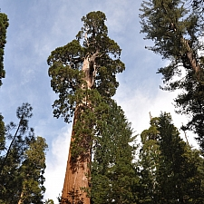 Sequoiadendron giganteum  giant Sequoia, Sierra redwood