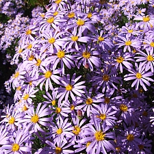 Aster x frikartii 'Monch' aster