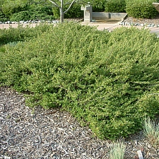 Baccharis  'Centennial' coyote bush, desert broom