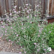 Phlomis purpurea  purple phlomis