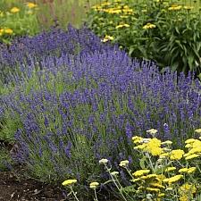 Lavandula  angustifolia 'Hidcote' dwarf English lavender
