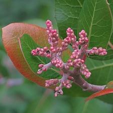 Rhus integrifolia  lemonade berry
