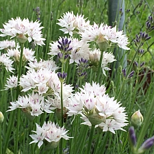 Allium amplectans 'Graceful Beauty' narrowleaf onion