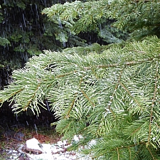 Abies concolor  white fir