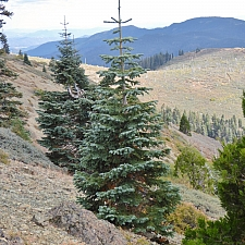 Abies magnifica  red fir