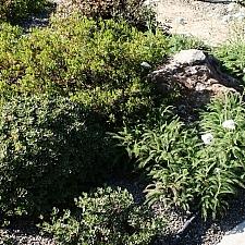Achillea millefolium 'Calistoga' yarrow