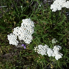 Achillea millefolium - inland form - Napa County seed source  yarrow