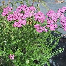 Achillea millefolium 'Island Pink' yarrow