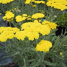 Achillea  'Moonshine' yarrow