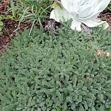 Achillea tomentosa  woolly yarrow