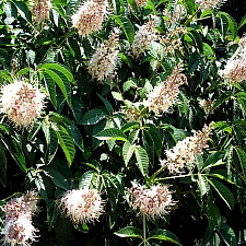 Aesculus californica  Californica buckeye
