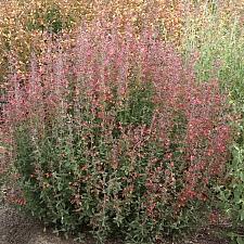 Agastache  'Coronado Red' hummingbird mint