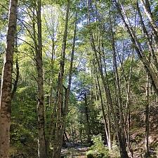 Alnus rhombifolia  white alder