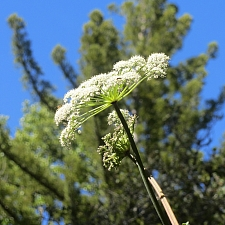 Angelica californica  California angelica