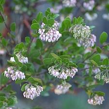 Arctostaphylos  'Lutsko's Pink' manzanita