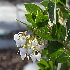 Arctostaphylos manzanita 'Laguna White' common manzanita