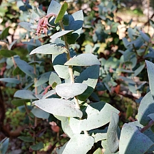 Arctostaphylos pajaroensis 'Warren Roberts' Pajaro manzanita