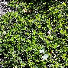Arctostaphylos hookeri spp. hearstiorum  Hearst's manzanita