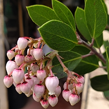 Arctostaphylos manzanita 'Mary's Blush' common manzanita