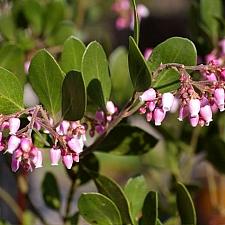 Arctostaphylos manzanita 'Monica' common manzanita