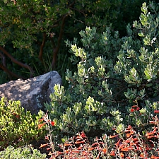 Arctostaphylos silvicola  ghostly manzanita