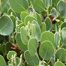 Arctostaphylos viscida  whiteleaf manzanita