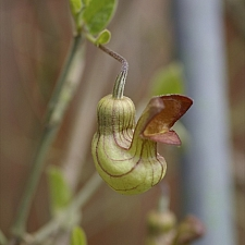Aristolochia californica  Dutchman's pipe vine