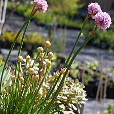 Armeria maritima ssp. californica  sea thrift