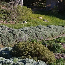 Artemisia californica 'Canyon Gray' prostrate California sagebrush