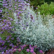 Artemisia suksdorfii  coastal mugwort