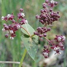 Asclepias cordifolia  heart leaf milkweed