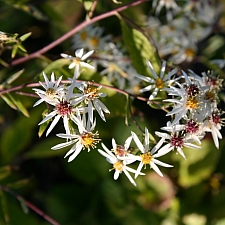 Aster (Symphyotrichum) divaricatus - Raiche form  wood aster