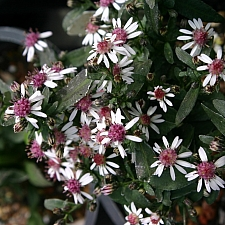 Aster (Symphyotrichum) lateriflorus 'Lady in Black' aster
