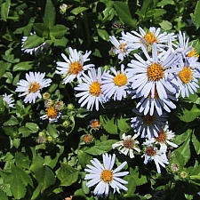 Aster (Symphyotrichum) chilensis 'Point Saint George' California aster