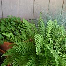 Athyrium filix-femina 'Minutissimum' dwarf lady fern