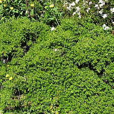 Baccharis pilularis 'Twin Peaks' dwarf coyote bush