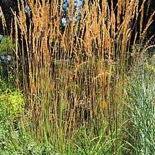 Calamagrostis acutiflora 'Karl Foerster' feather reed grass