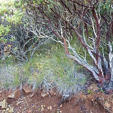 Calamagrostis rubescens  pine grass