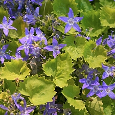 Campanula garganica 'Dickson's Gold' golden Adriatic bellflower