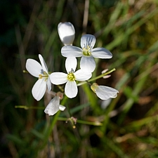 Cardamine californica  milk maids