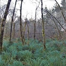 Carex obnupta  slough sedge