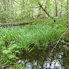 Carex amplifolia  bigleaf sedge