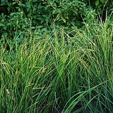Carex barbarae  basket sedge