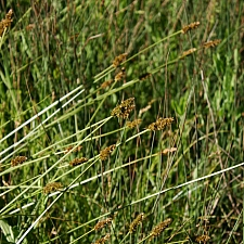 Carex densa  dense sedge