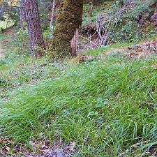 Carex globosa  round-fruit sedge